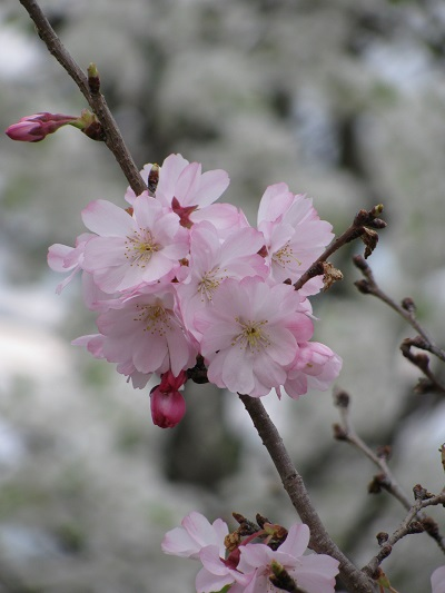 Blossoms8