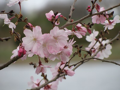 Blossoms9