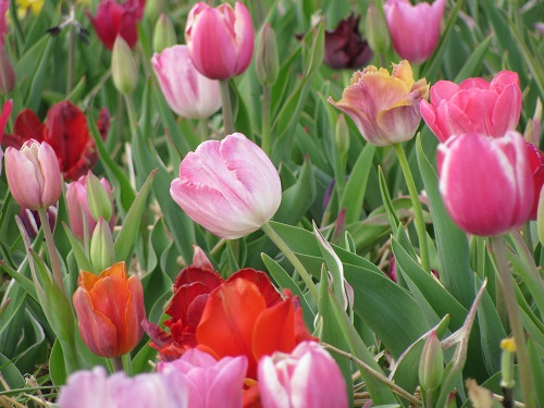 Tulips22