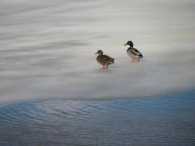 01_29-1-ducks