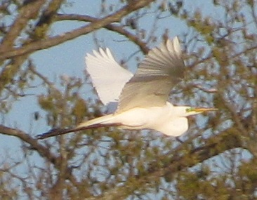 04_16-6-egret-flying