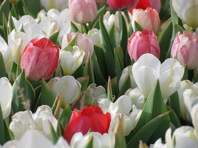 04_22-47-white-and-red-tulips