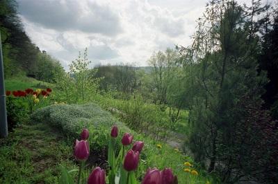 2000_04 4 Tulips