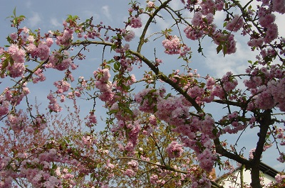 2004_04_21 3 Blossoms