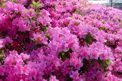 2004_05_16 3 Rhododendrons